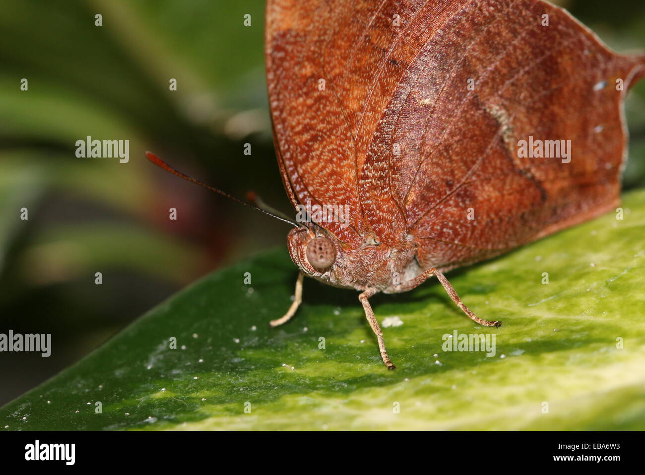 Bộ sưu tập cánh vẩy 4 - Page 26 South-american-noble-leafwing-butterfly-fountainea-nobilis-EBA6W3