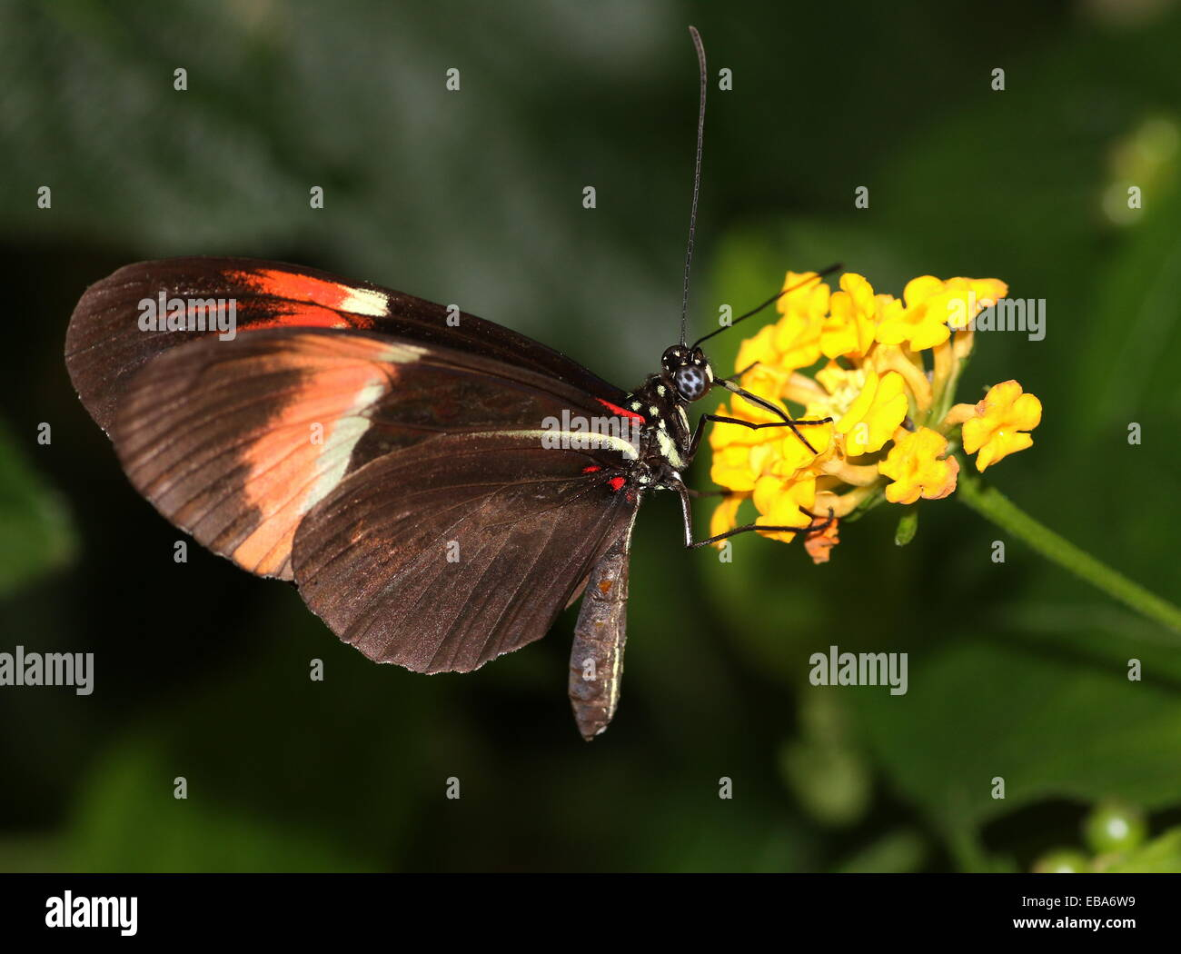 Making H Heurippa An Example Of Hybrid Speciation Stock Photos
