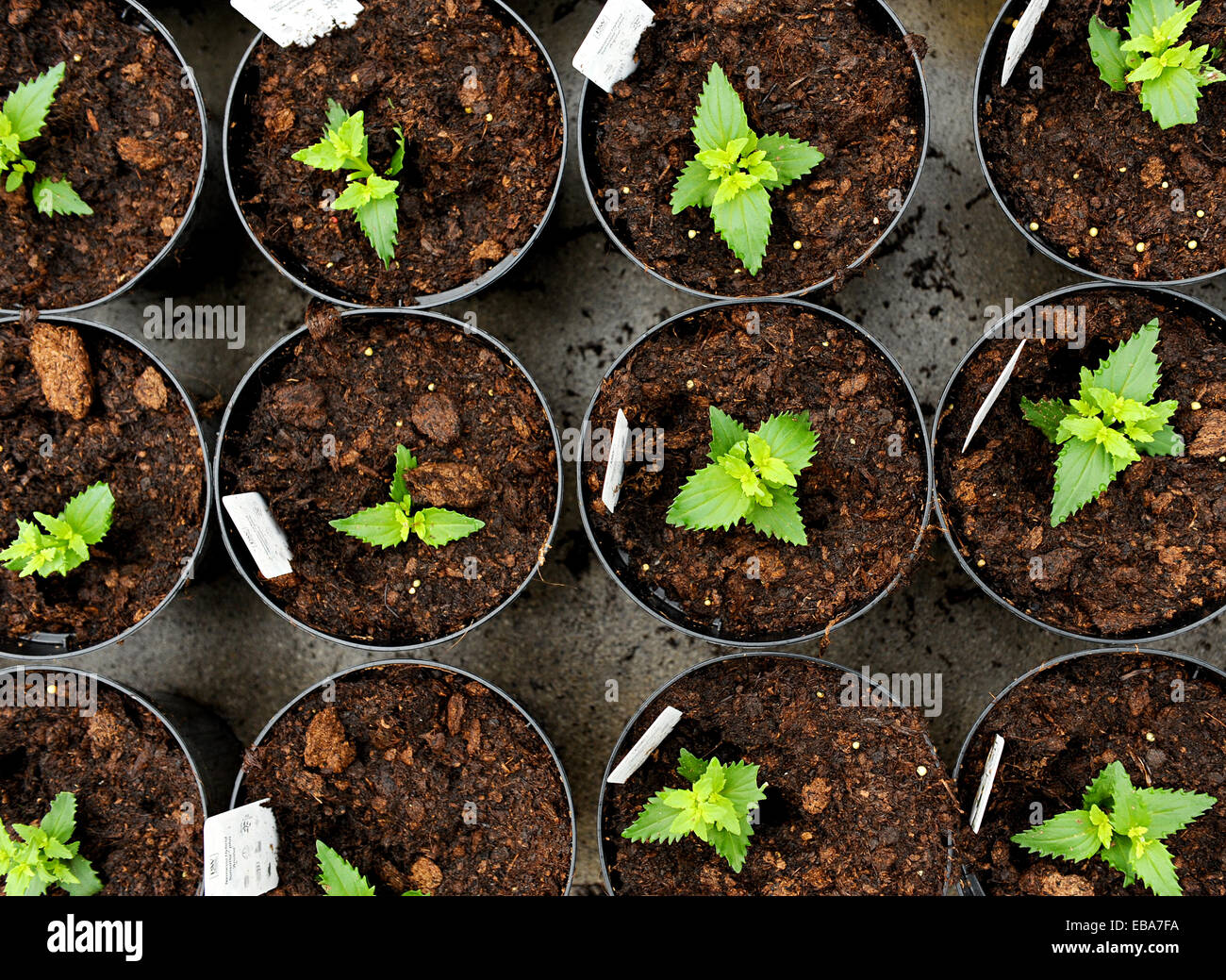 Overhead view of young nemesia seedlings in flowerpots with information labels being cultivated at a nursery of - Stock Image