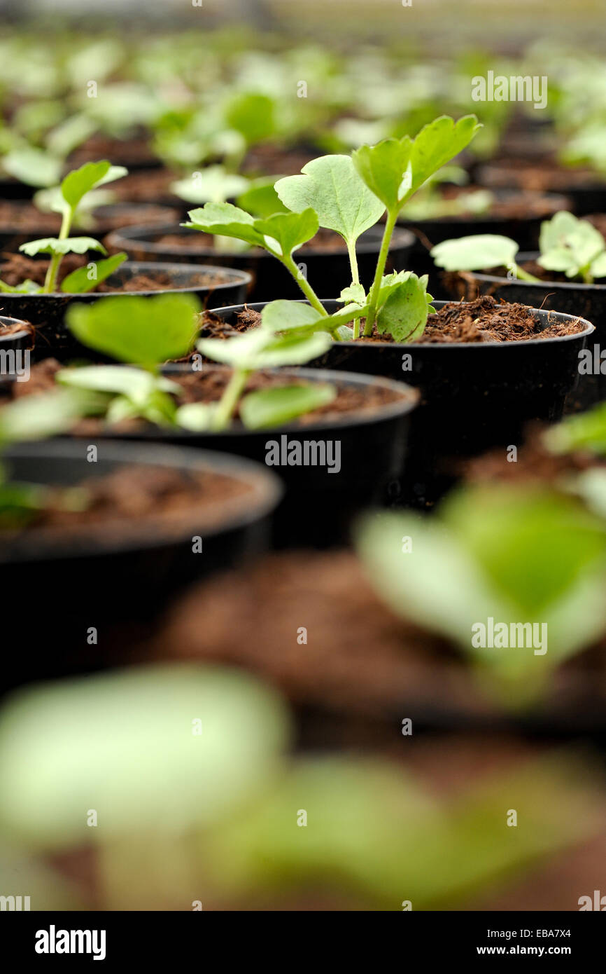 Young transplanted seedlings in a nursery growing in flowerpots to harden off for sale as garden or houseplants, - Stock Image