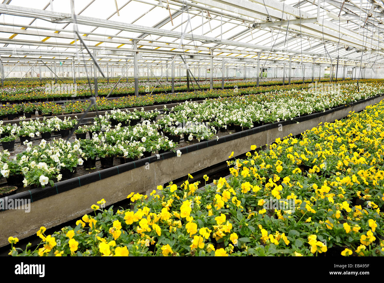 Tables of potted colorful violets being cultivated in a greenhouse at a nursery or horticultural farm for sale as - Stock Image