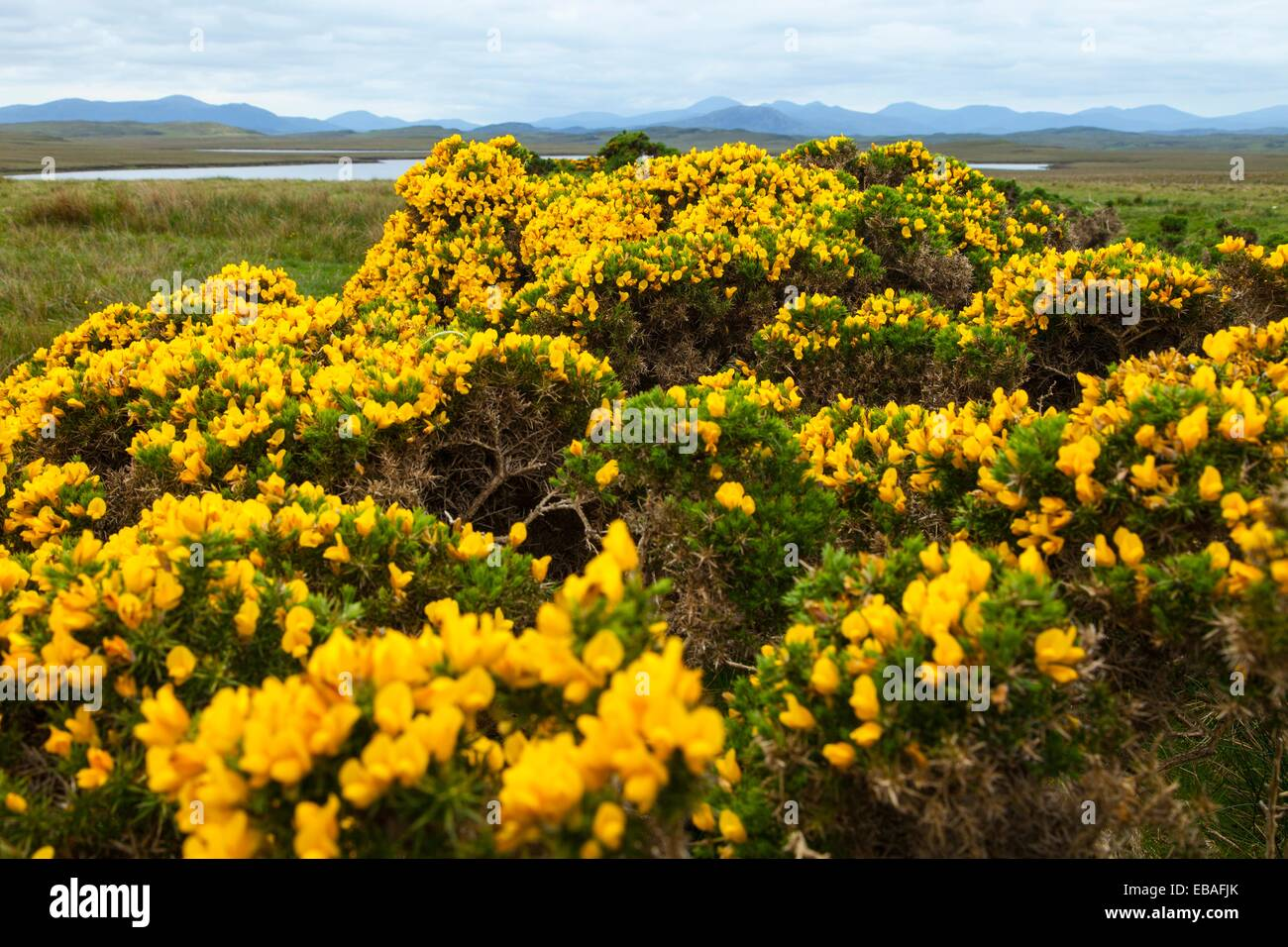Common gorse and panoramic View of South Lewis and North Harris from Lochganvich. Achmore. Lewis Island. Outer Hebrides. - Stock Image