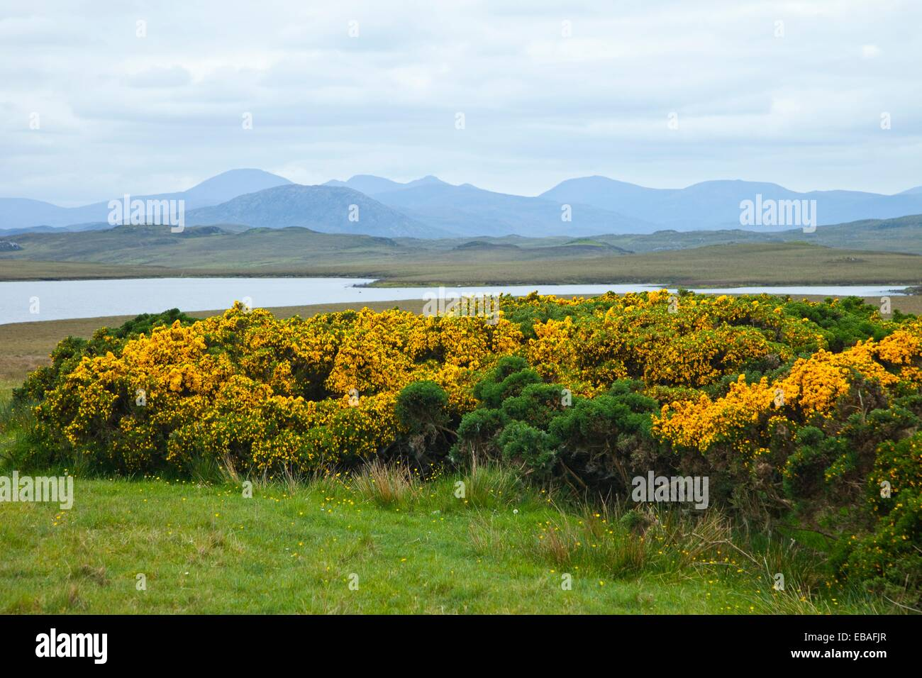 achmore British Isles common gorse G.B. Gorse Great Britain Harris Hebrides island Lewis north Outer hebrides panorama - Stock Image