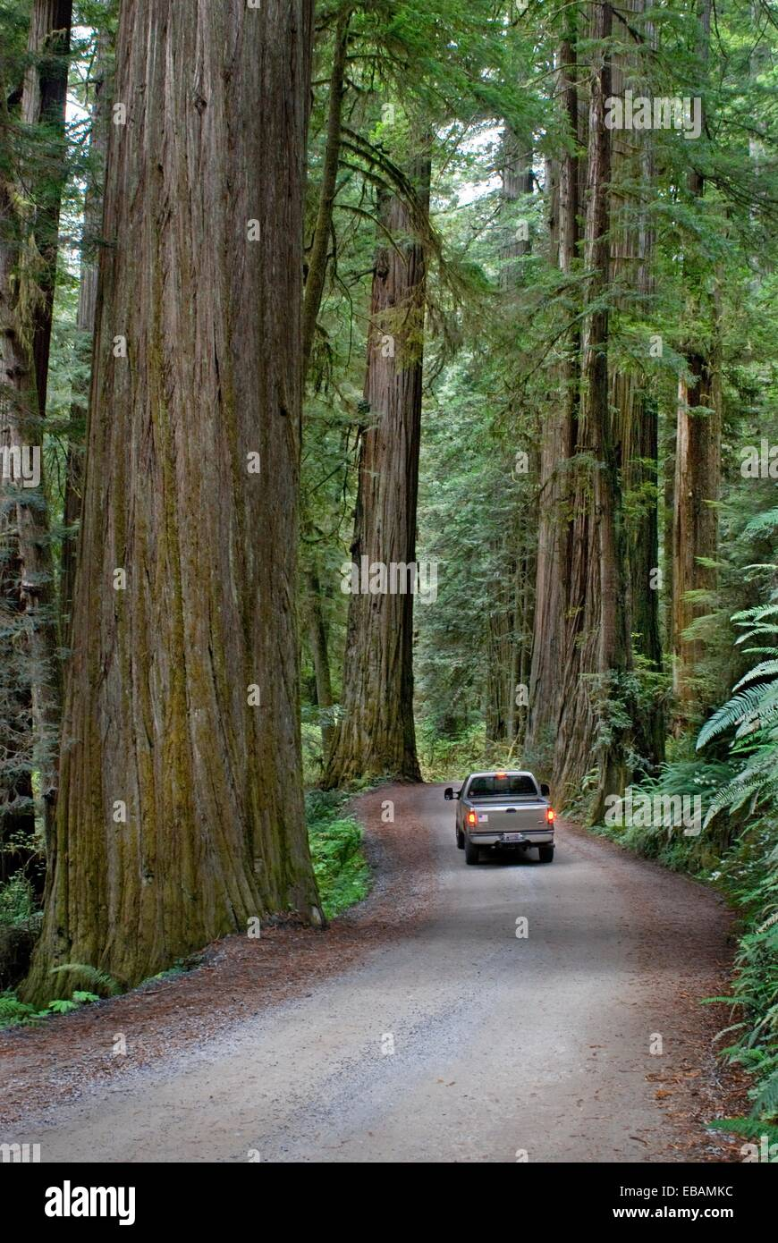 Primitive road through old growth coast redwood forest Jedediah Smith Redwoods State Park Crescent City California - Stock Image