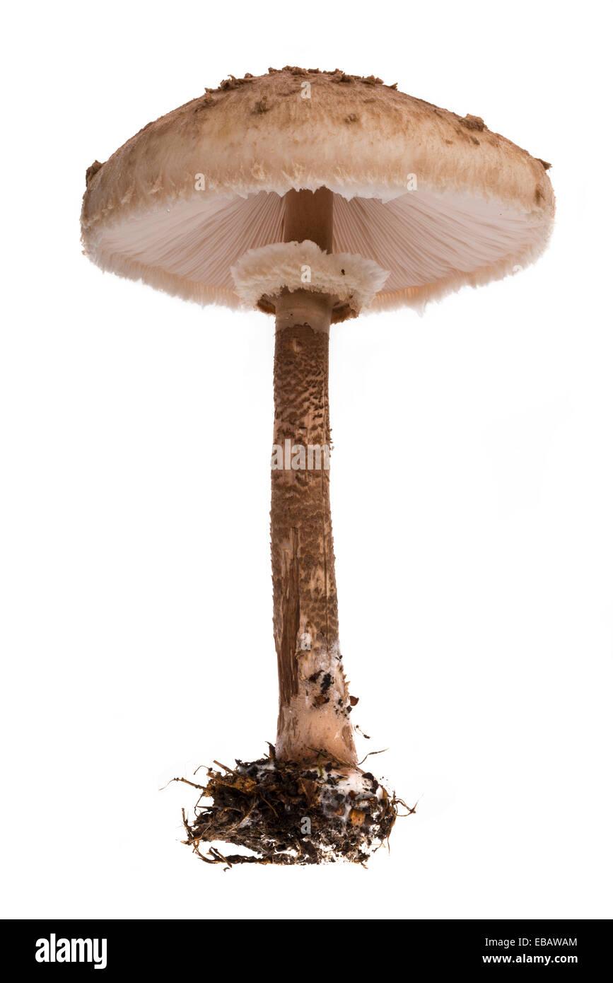 Basidiomycota Stock Photos Amp Basidiomycota Stock Images