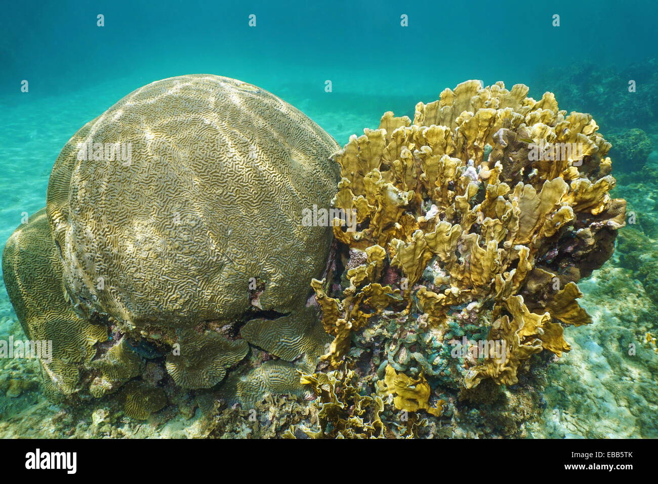 Symmetrical brain coral, Diploria strigosa and bladed fire coral, Millepora complanata, Grand Bahamas, Atlantic - Stock Image