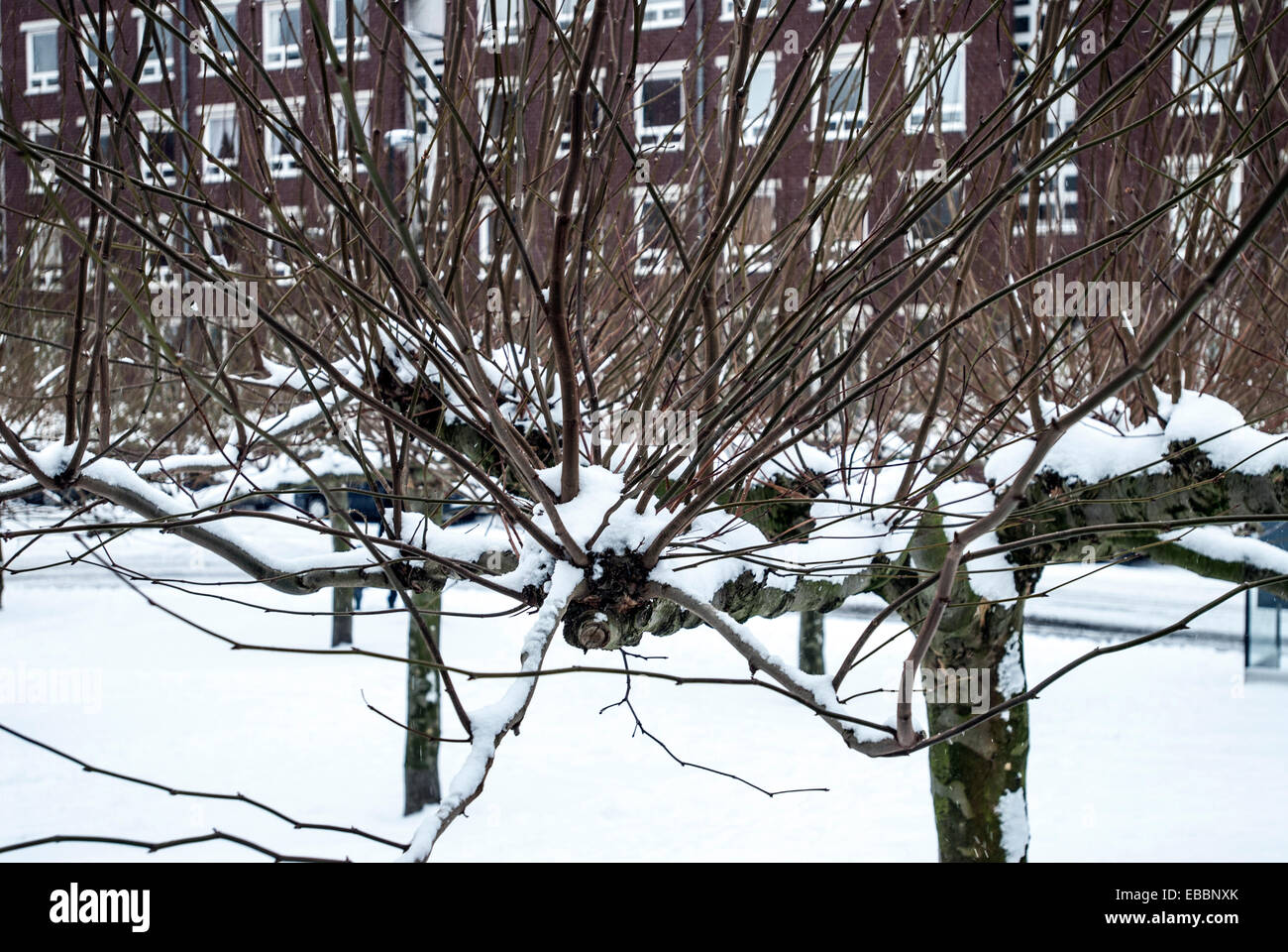 Strange trees covered with snow with apartment building in the background - Stock Image