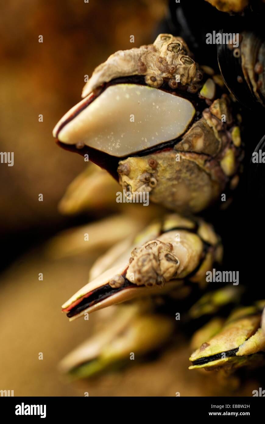 Goose barnacles (Pollicipes pollicipes) in Vigo ria, Pontevedra province, Spain Stock Photo