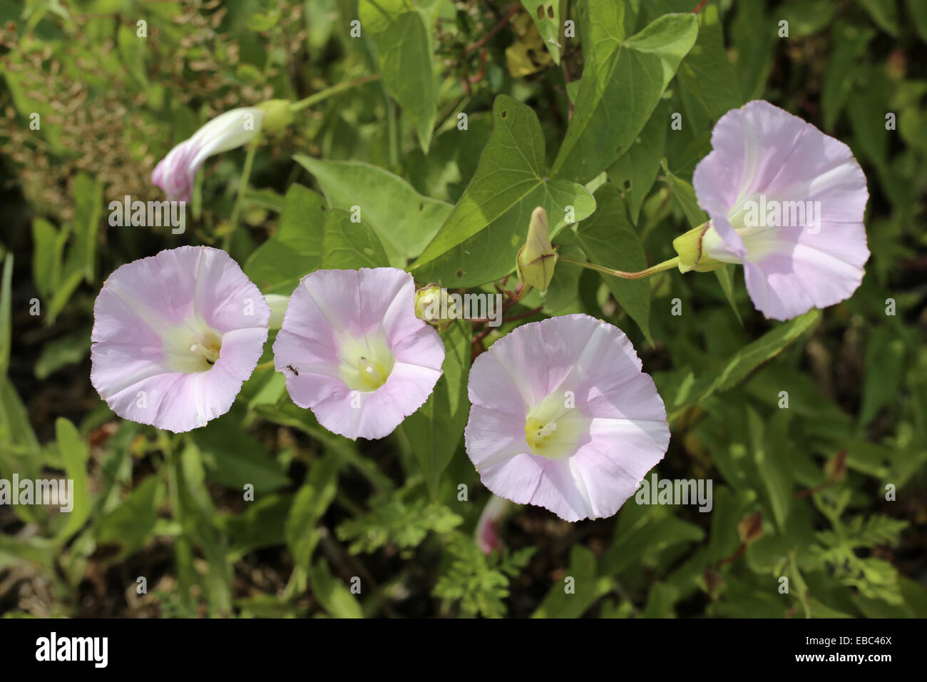 The bindweed is of the morning glory family. Note the arrow or spade shaped leaves. It puts out runners; loves fences - Stock Image