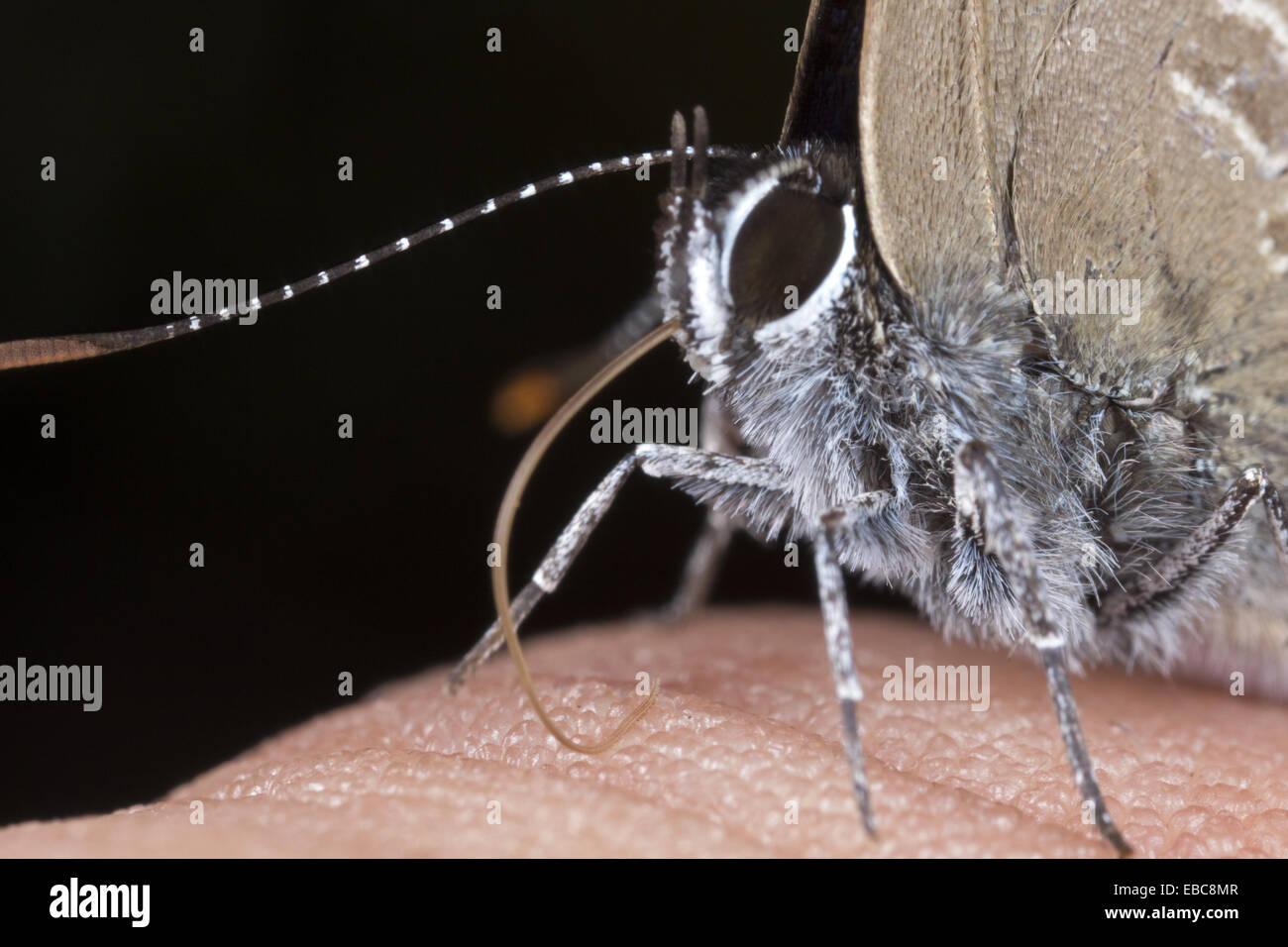 Butterfly sucking on sweat from hand. Image taken at Kampung Skudup Sarawak Malaysia. - Stock Image