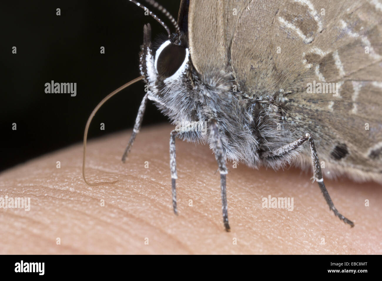 Butterfly sucking on sweat from hand. Image taken at Kampung Skudup, Sarawak, Malaysia. - Stock Image