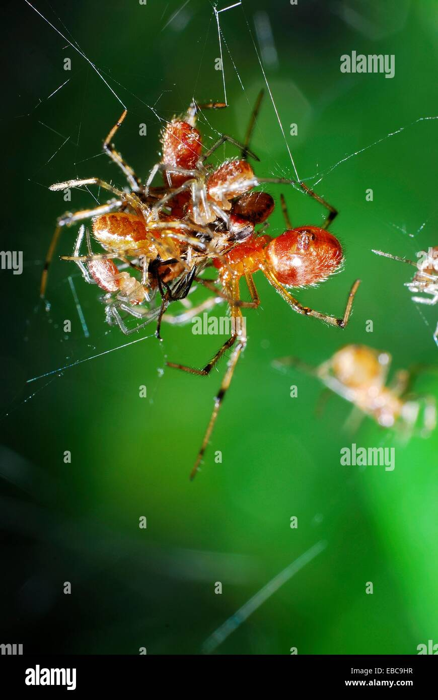 Social spider eating a fly Anelosimus domingo, Theridiidae Acre, Brazil, 2009 - Stock Image