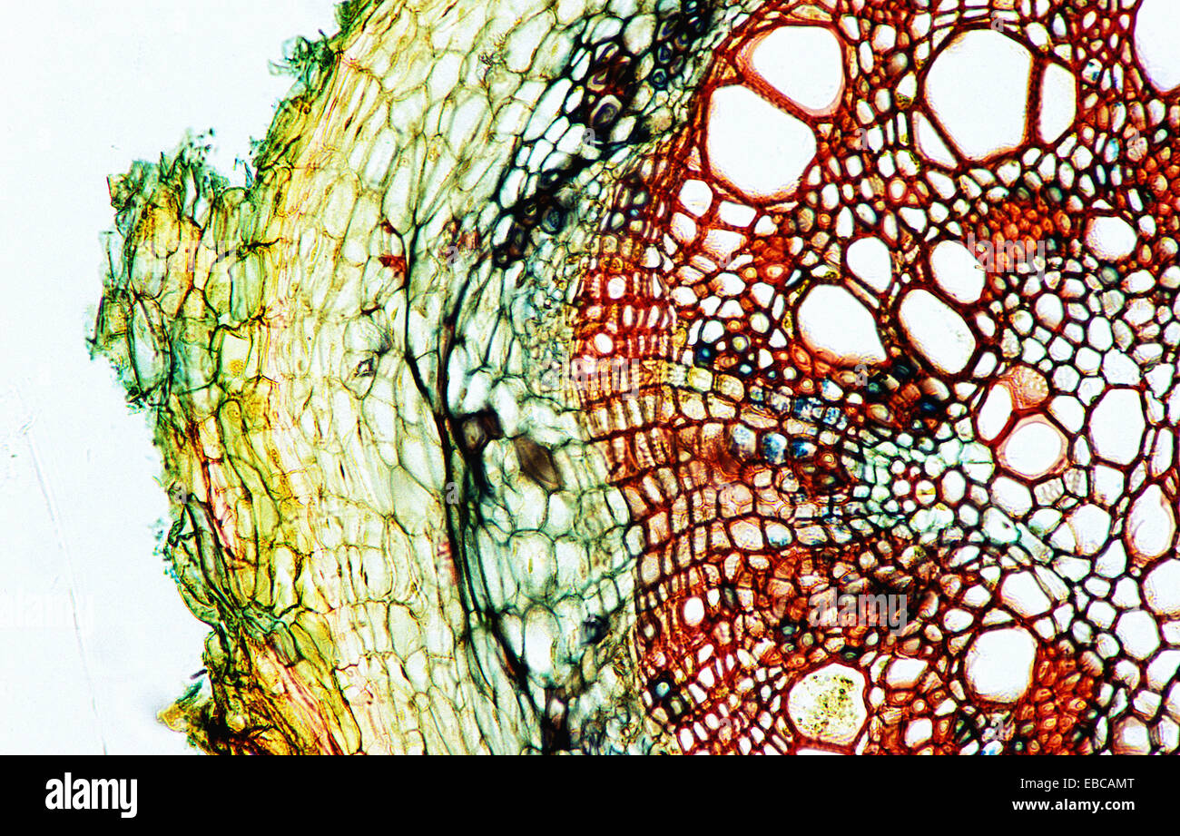 Plant Anatomy Cell Stock Photos  U0026 Plant Anatomy Cell Stock