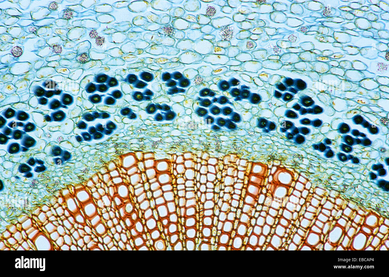 Plant Anatomy Cell Stock Photos Plant Anatomy Cell Stock Images