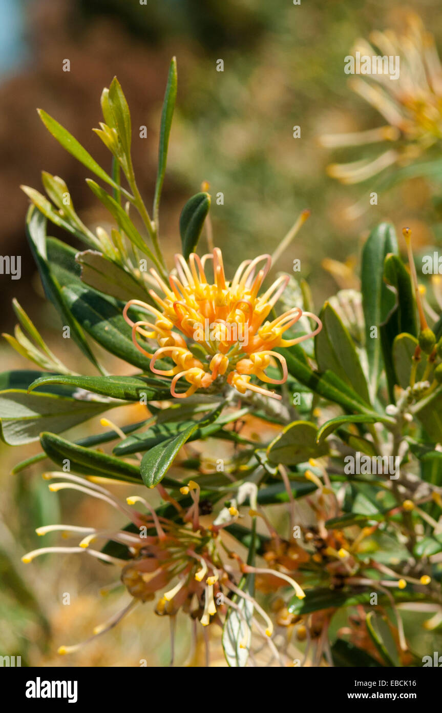 Grevillea olivacea, Apricot Glow in Lake Monjingup Conservation Reserve, Esperance, WA, Australia - Stock Image