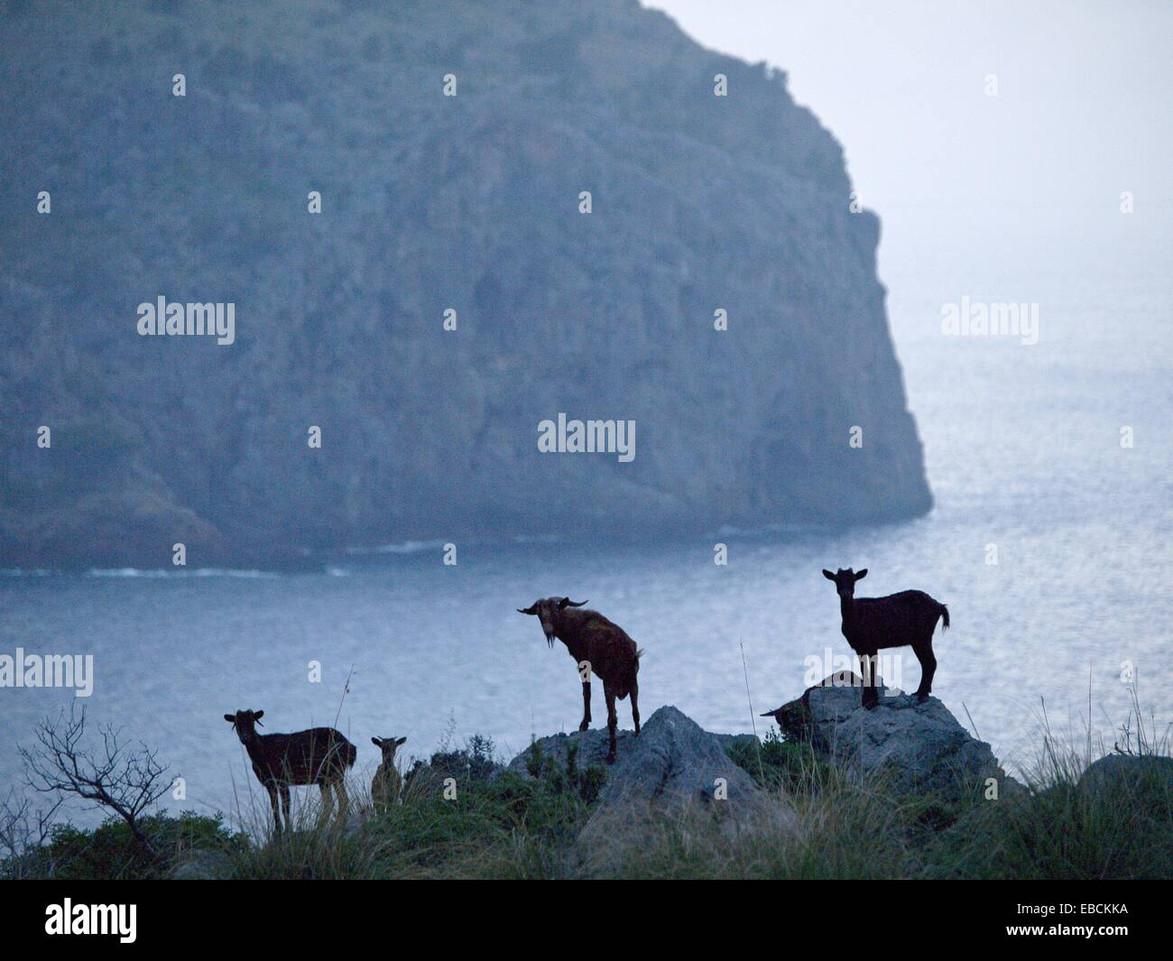 Maroon goats against the nose of Cala Rotja, Escorca, Sierra de Tramuntana, Balearic Islands, Spain, Europe - Stock Image