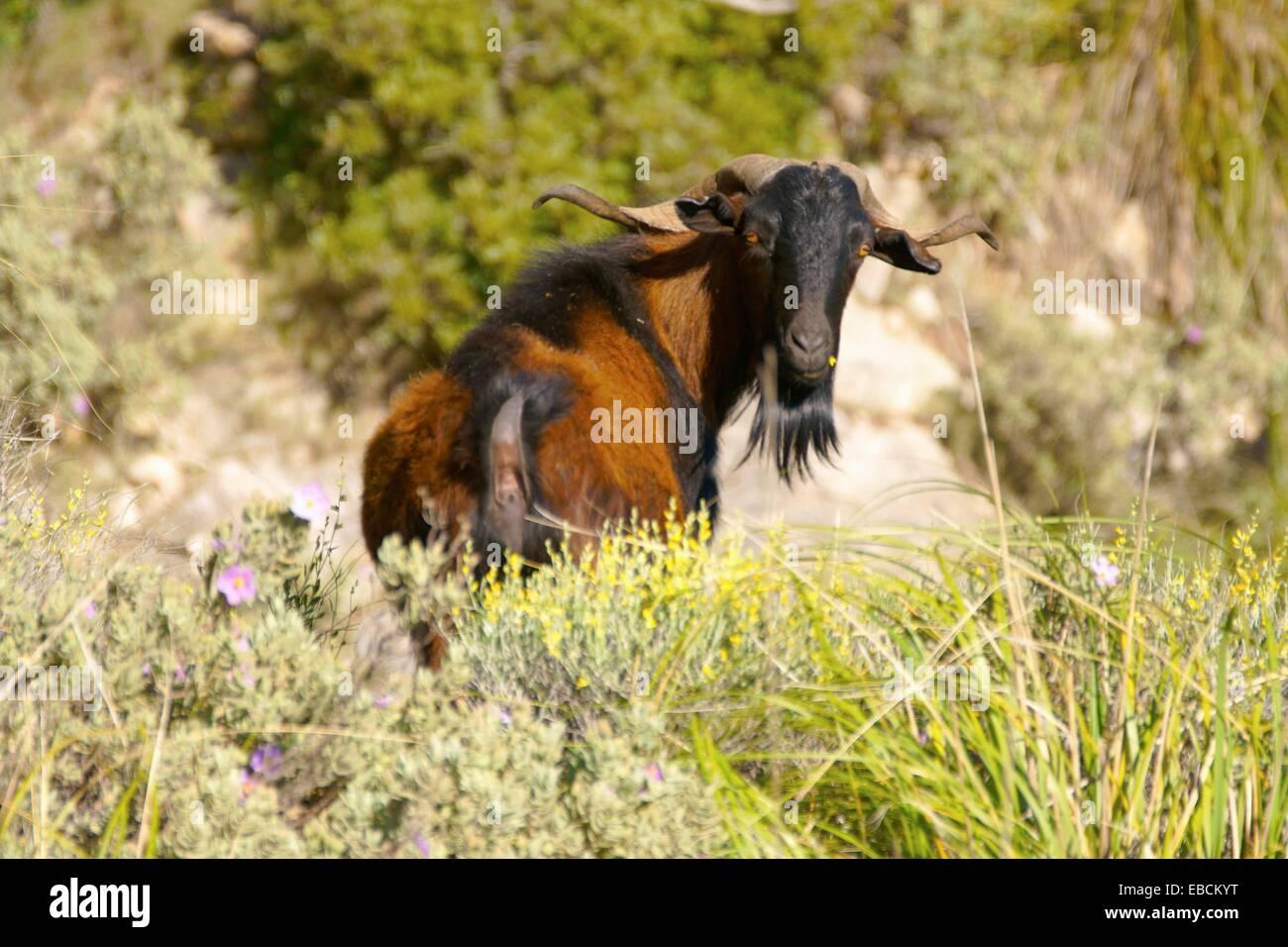 Boc Balear, wild goat, Andratx, Mallorca, Sierra de Tramuntana Trapa Balearic Spain - Stock Image