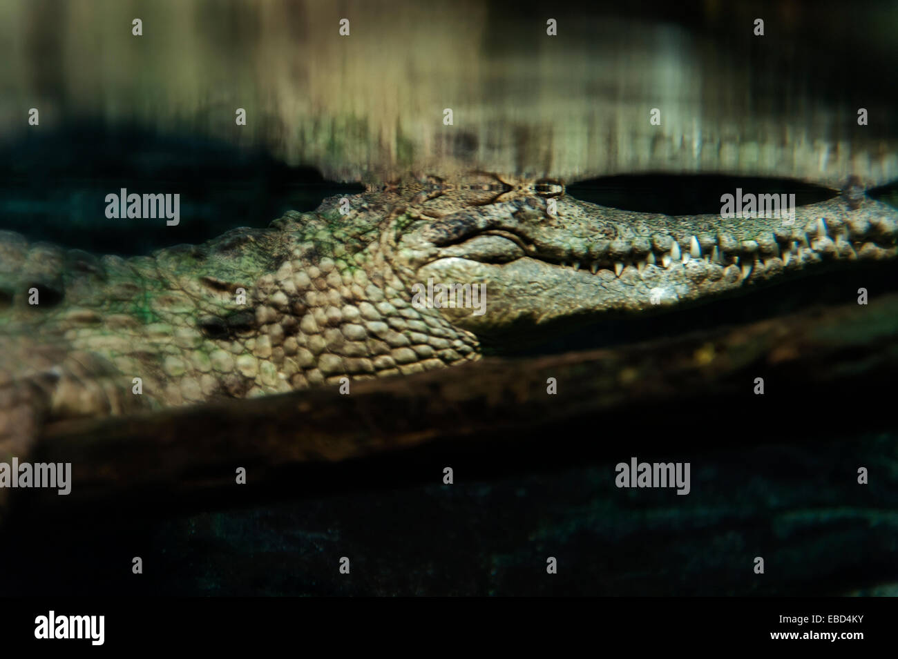 Crocodile in murky swamp water. - Stock Image