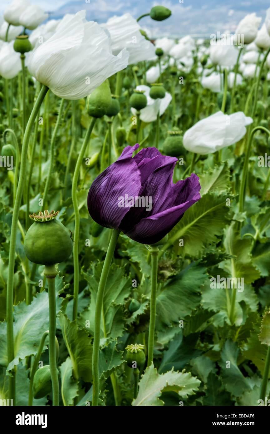 Opium poppy field papaver somniferum turkey stock photo 75896330 opium poppy field papaver somniferum turkey mightylinksfo