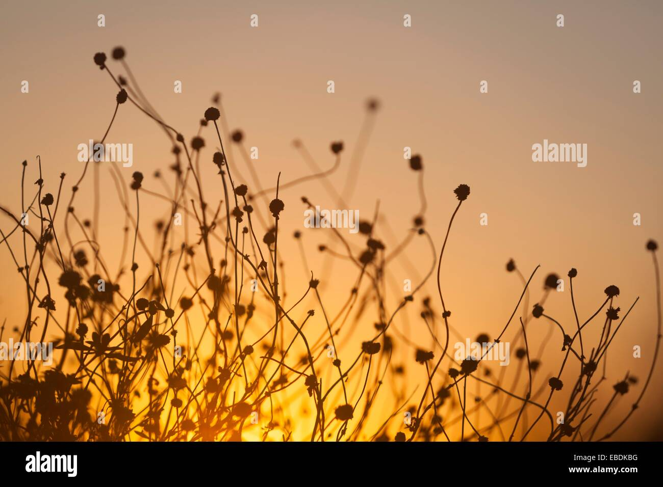 Sunset with plant Stock Photo