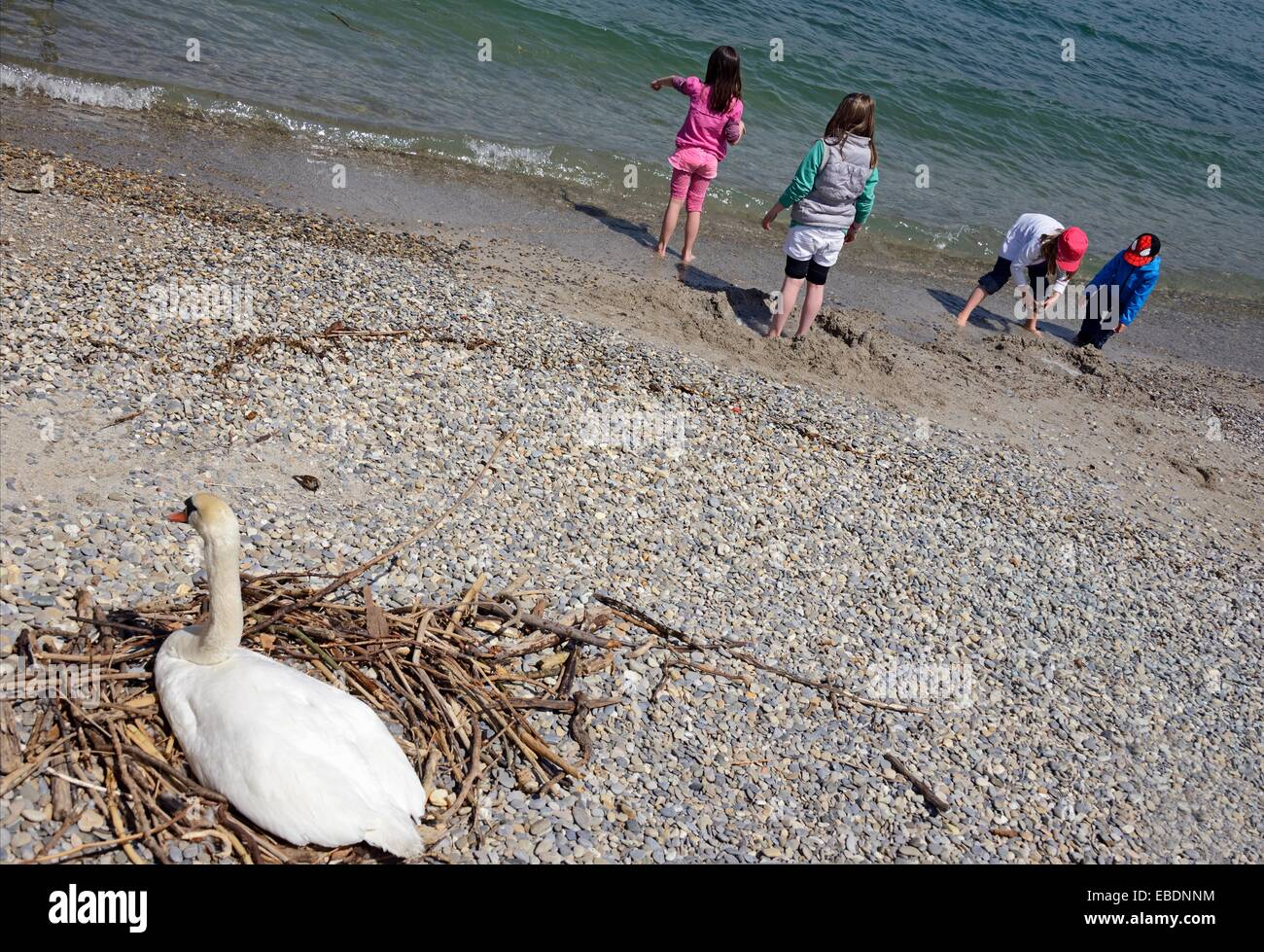 children plying at the beach, mother swan sitting in nest, Lake Geneva shore, Paquis plage, Paquis beach, Lac Leman, - Stock Image