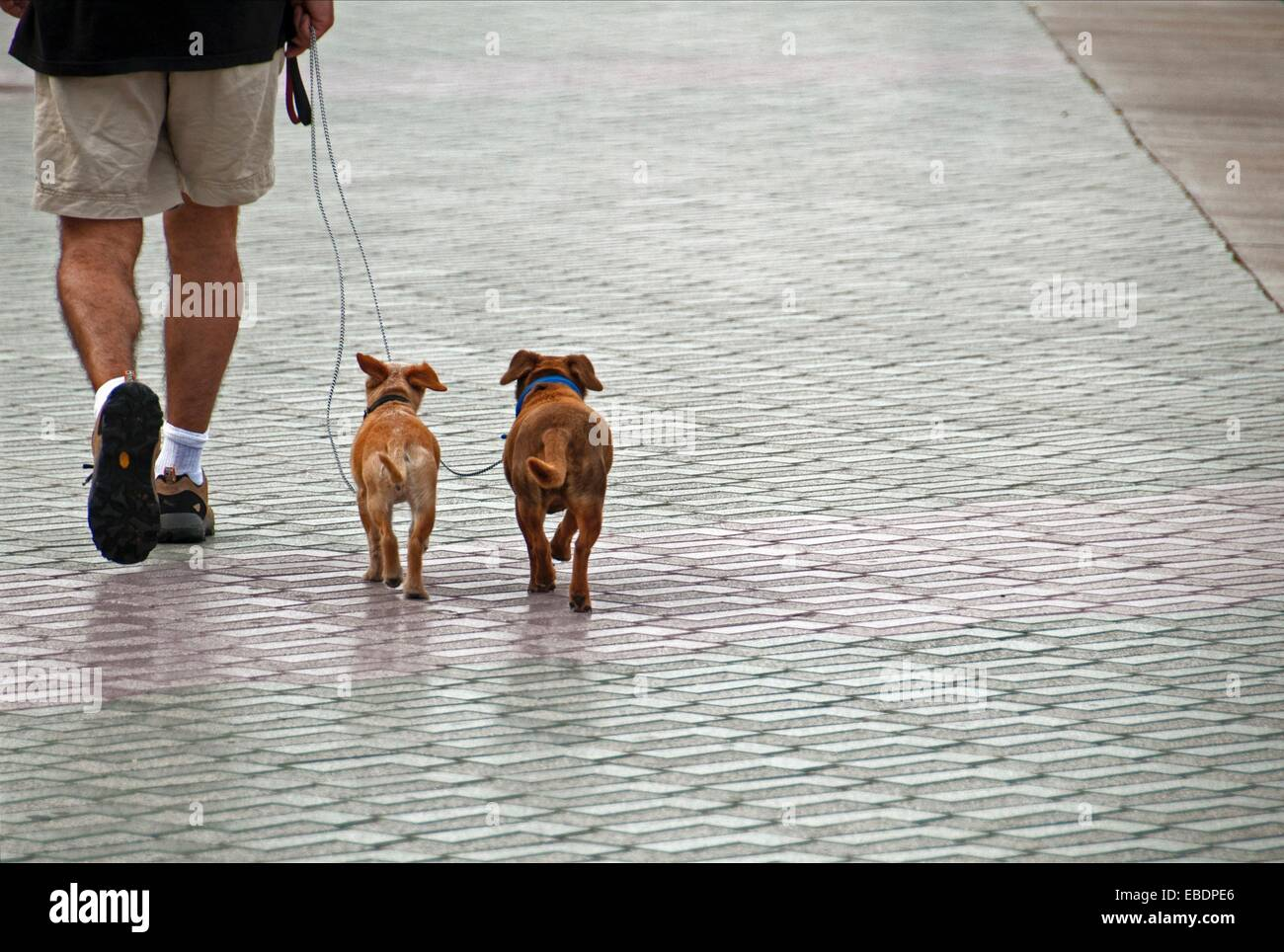 man walking out two small dogs on a leash - Stock Image