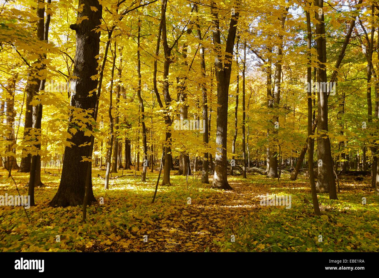 Autumn in an oak maple forest. Thatcher Woods Forest Preserve, Cook County, Illinois. Stock Photo