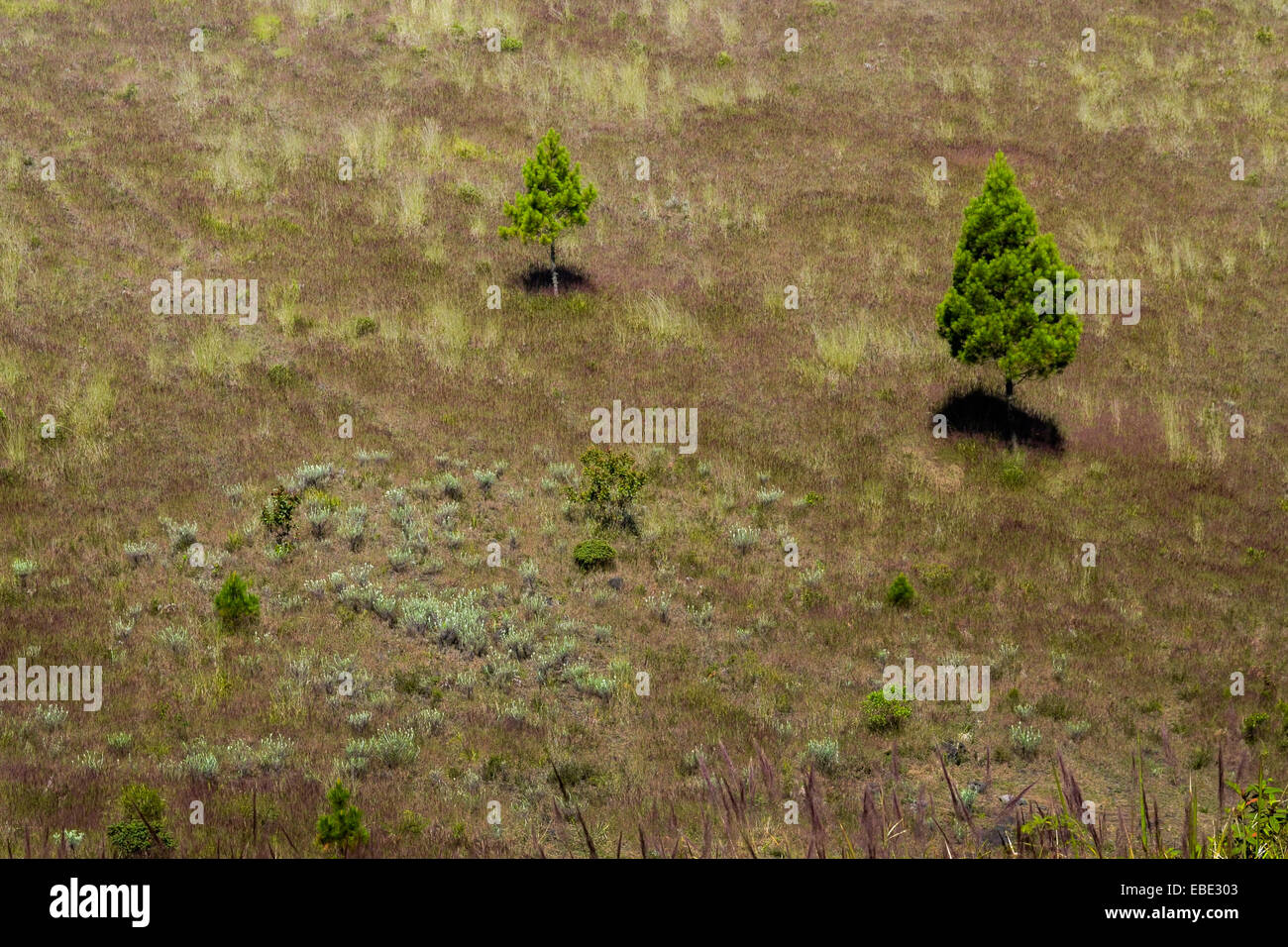 Spruces and edelweiss flowers on the caldera slope of Mount Guntur, Indonesia. - Stock Image