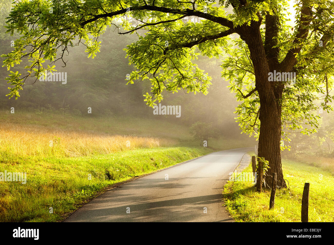 Early morning sunlight back-lights a tree along a misty country road in Cades Cove in the Great Smoky Mountains - Stock Image