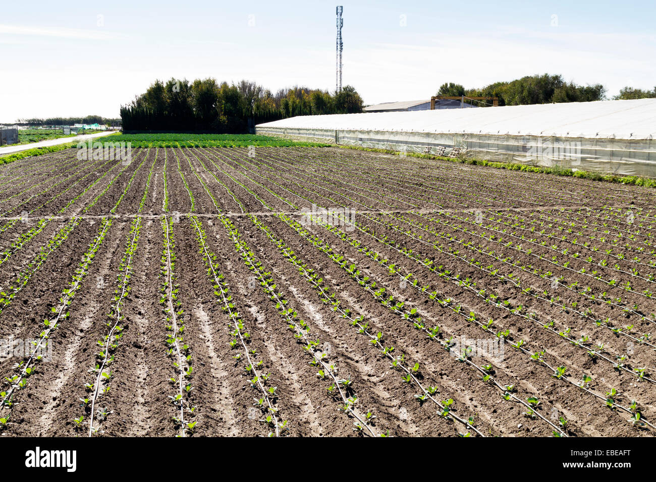 Winter lettuce crops growing in Spain on the Costa Del Sol Stock Photo
