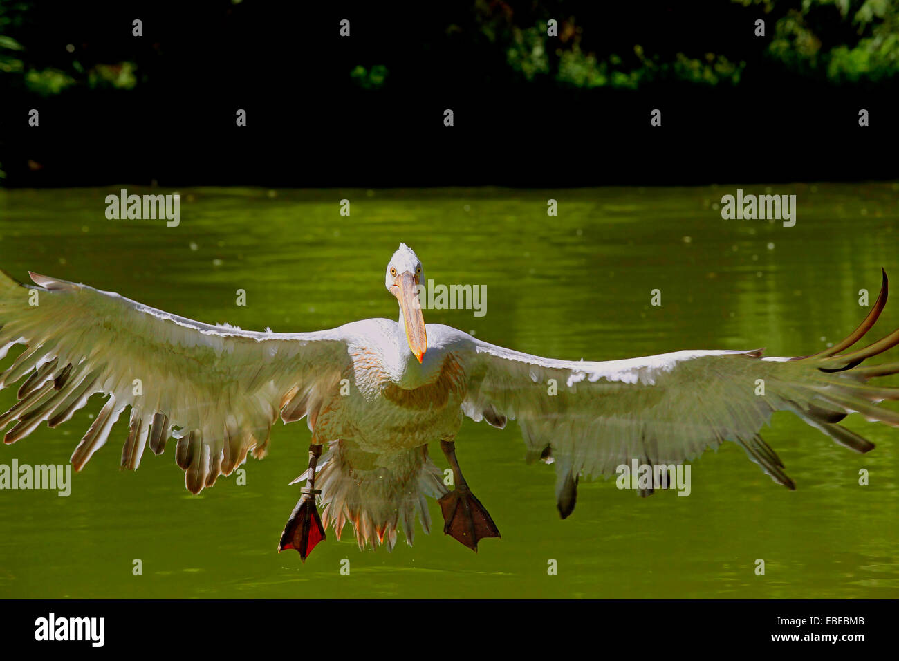 Dalmatian Pelican (Pelecanus crispus)  in flight just prior to landing Stock Photo