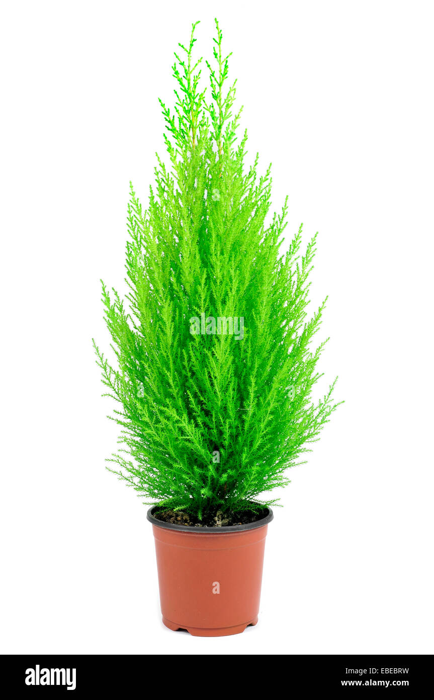 a goldcrest cypress in a plant pot on a white background - Stock Image