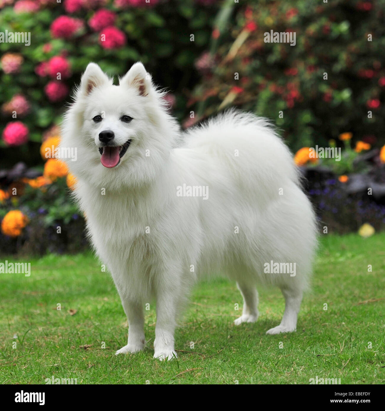 Japanese spitz dog - Stock Image
