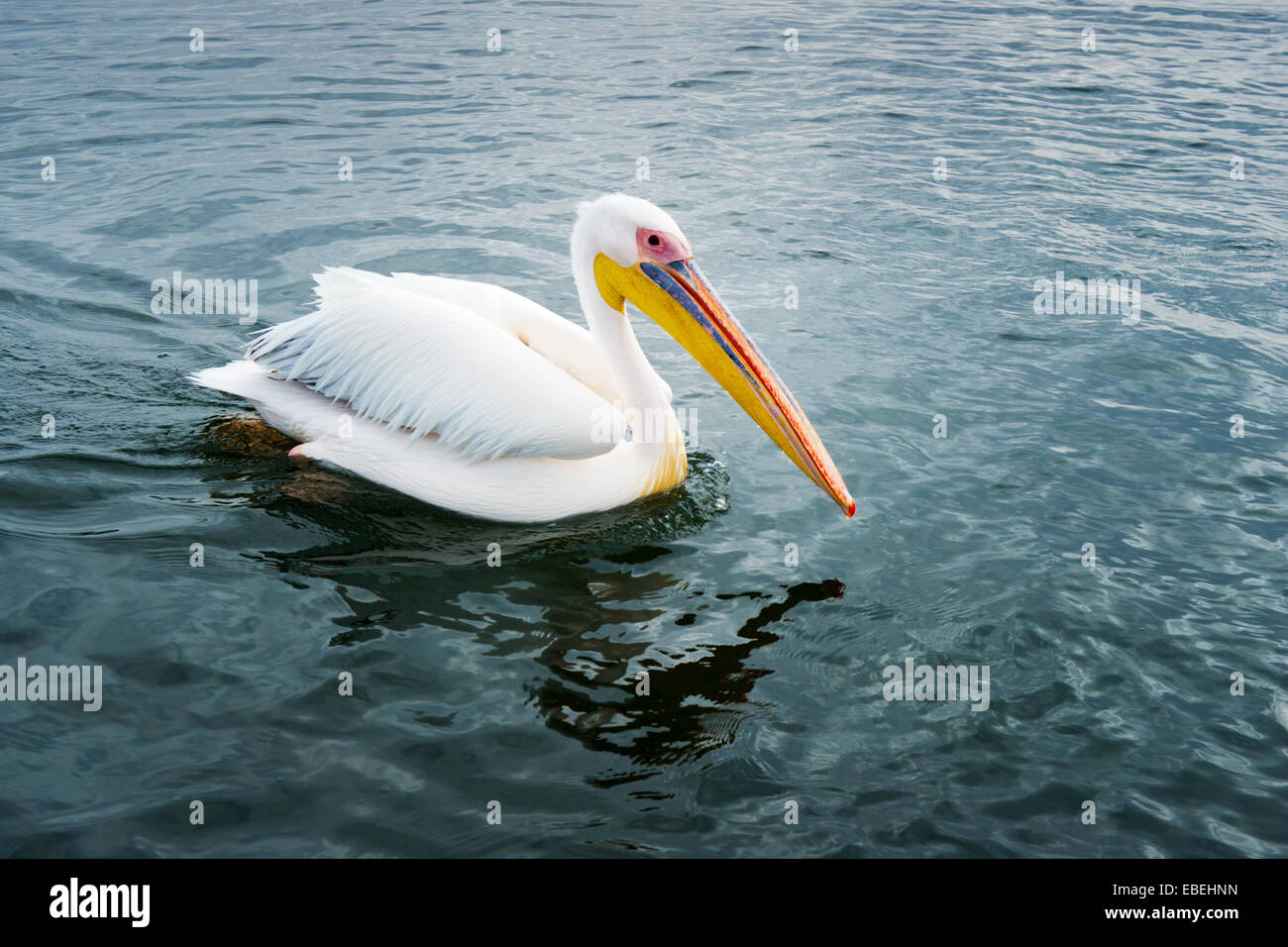 Great White Pelican (Pelecanus onocrotalus) swimming in water, Walvisbaai, Namibia. - Stock Image