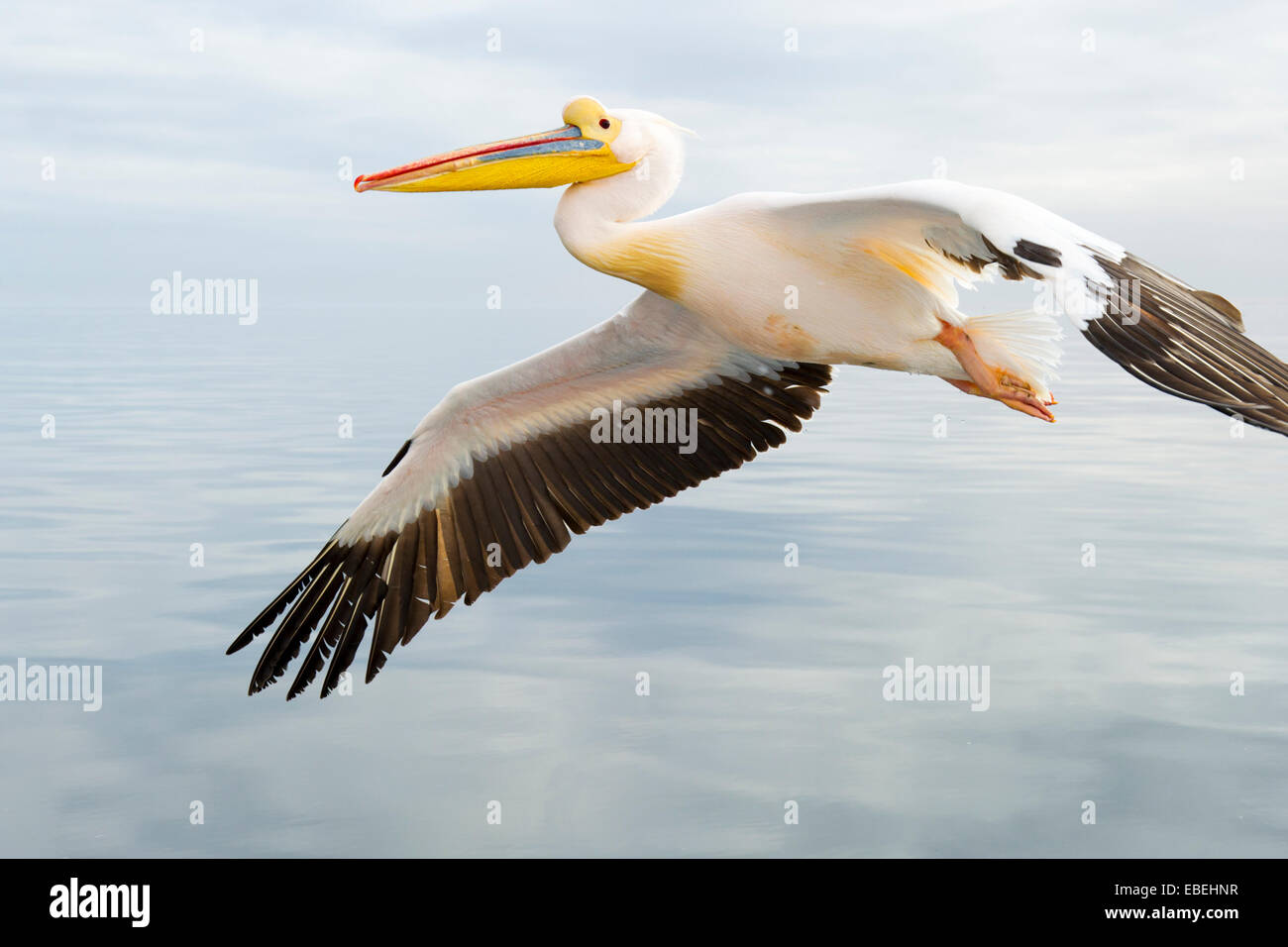 Great White Pelican (Pelecanus onocrotalus) in flight against cloudy sky, close up, Walvisbaai, Namibia. - Stock Image