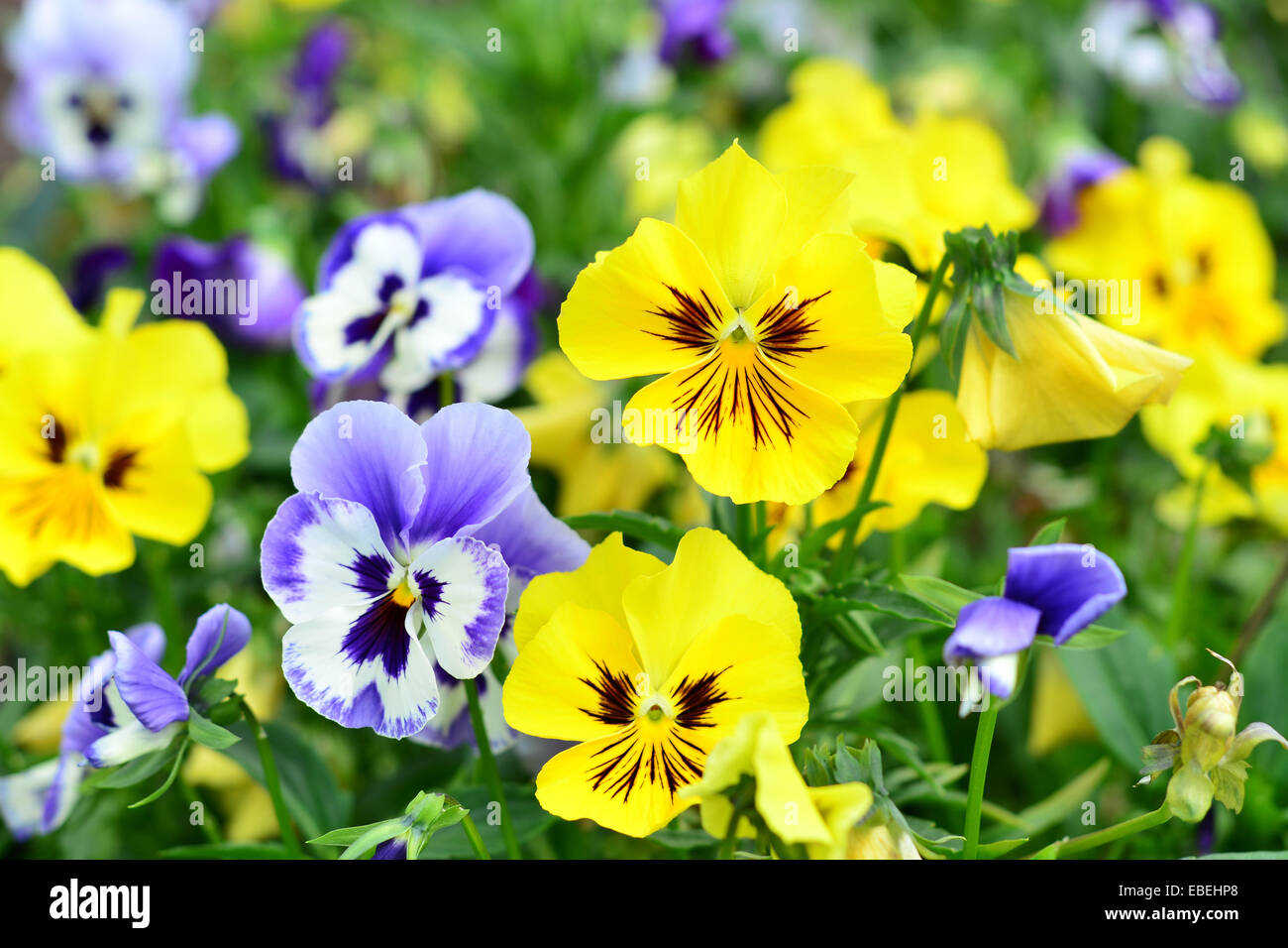 Flowers pansy - Stock Image