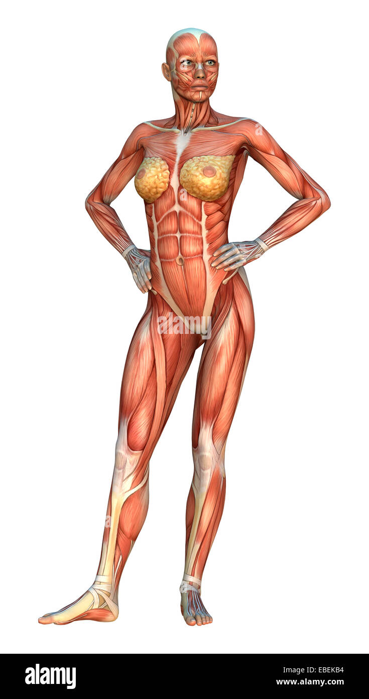 3D digital render of a female figure with muscle maps isolated on ...