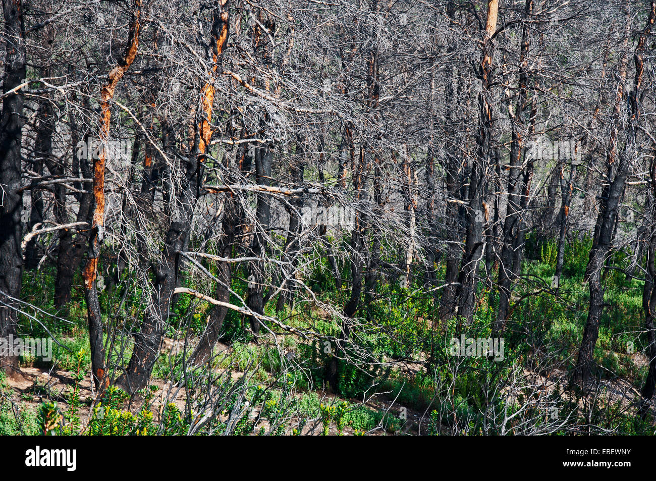 Vegetation six years after big forest fire - Stock Image