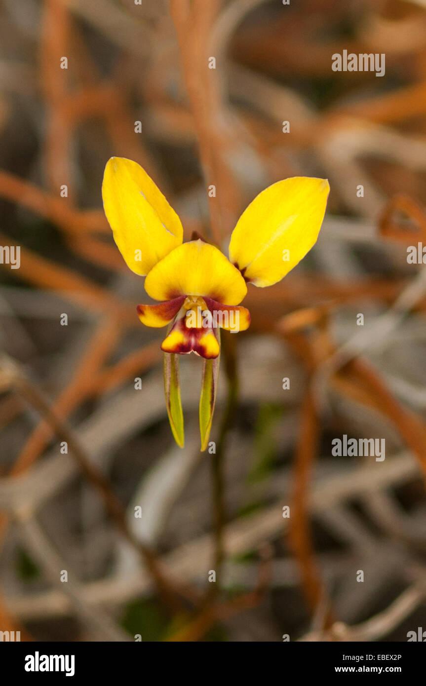 Diuris conspicillata, Spectacled Donkey Orchid in Cape Le Grande NP, WA, Australia - Stock Image