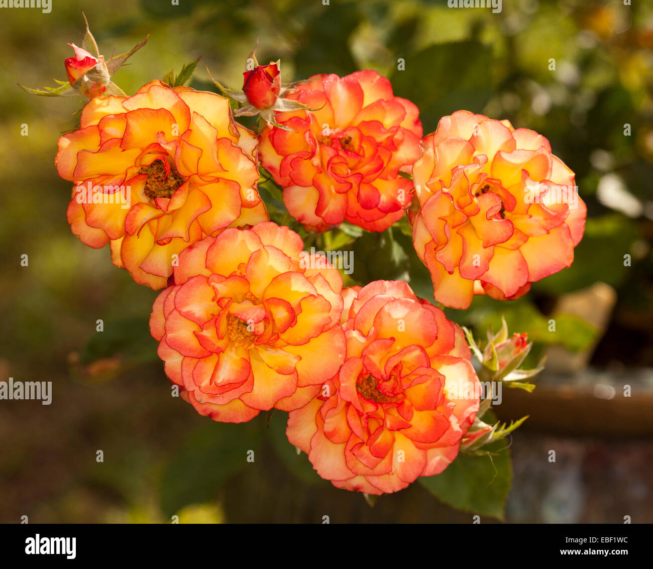 Cluster Of Spectacular Parade Roses Buds Vivid Red Orange And