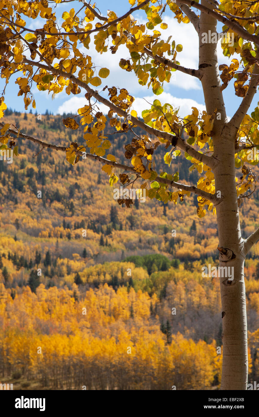 A sick aspen seen against the background of many aspen groves in autumn colors. Latin 'Populous tremuloides' - Stock Image