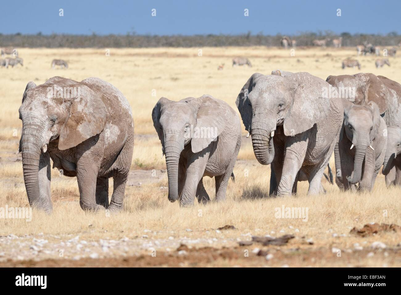 Herd of African elephants (Loxodonta africana), covered with mud, walking in dry grass, Etosha National Park, Namibia, Stock Photo