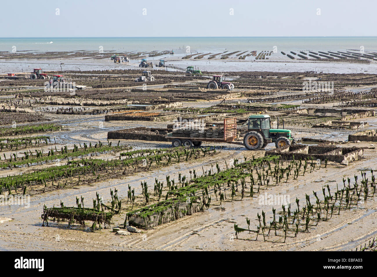 Cancale Oyster beds at low tide, Brittany, France, Europe Stock Photo