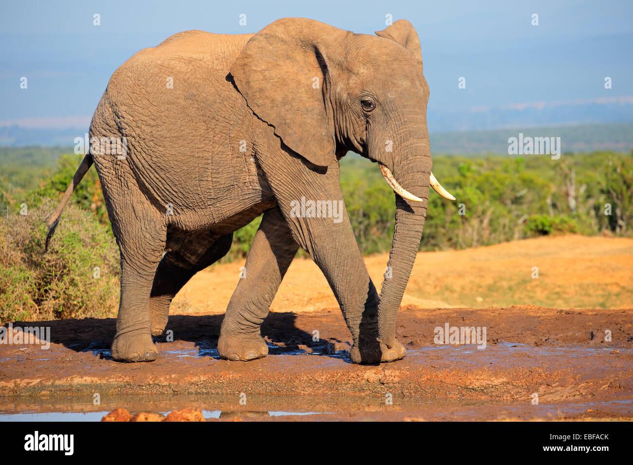 Large African elephant bull (Loxodonta africana), Addo Elephant National park, South Africa - Stock Image