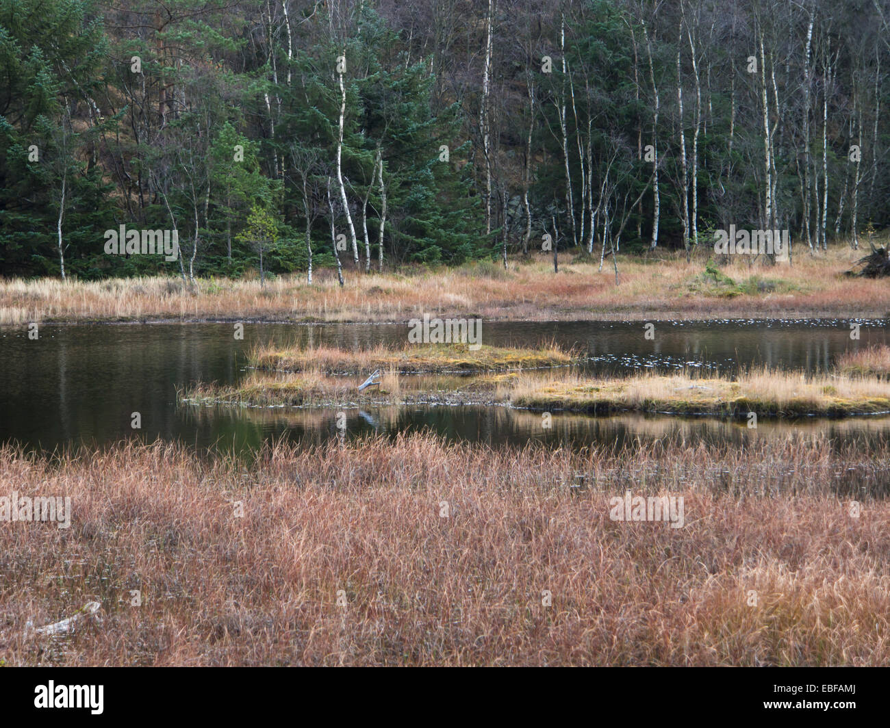 Small woodland lake and bog in late autumn, dry shrubs, conifer and birch, floating turfs - Stock Image