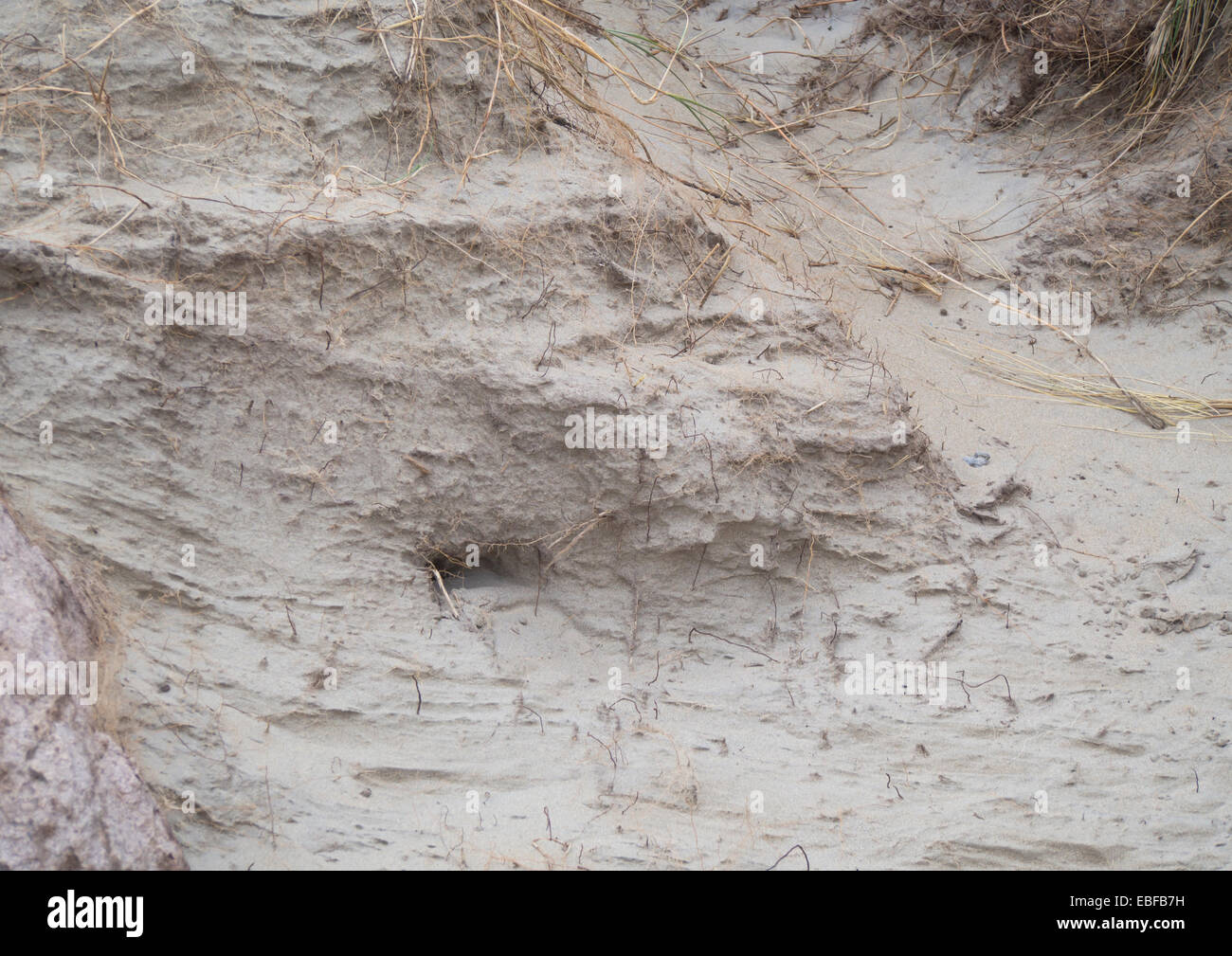 Close up of wind erosion in a sand dune on the North sea coast of  Norway near Stavanger - Stock Image