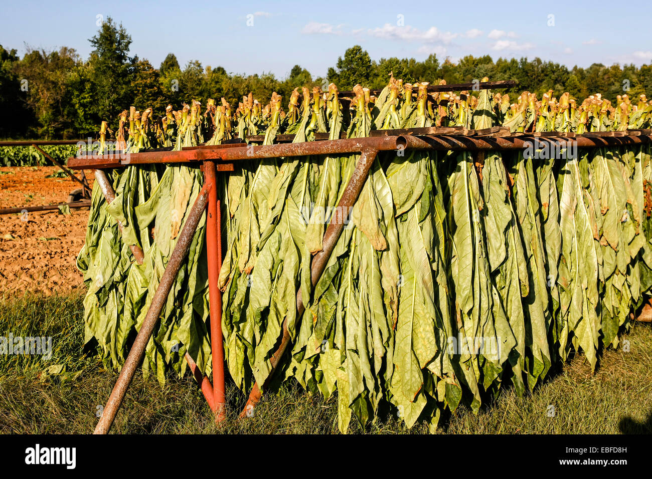 Aromatic Fire-cured Tobacco plant genus Nicotiana of the Solanaceae (nightshade) family being grown and cultivated Stock Photo