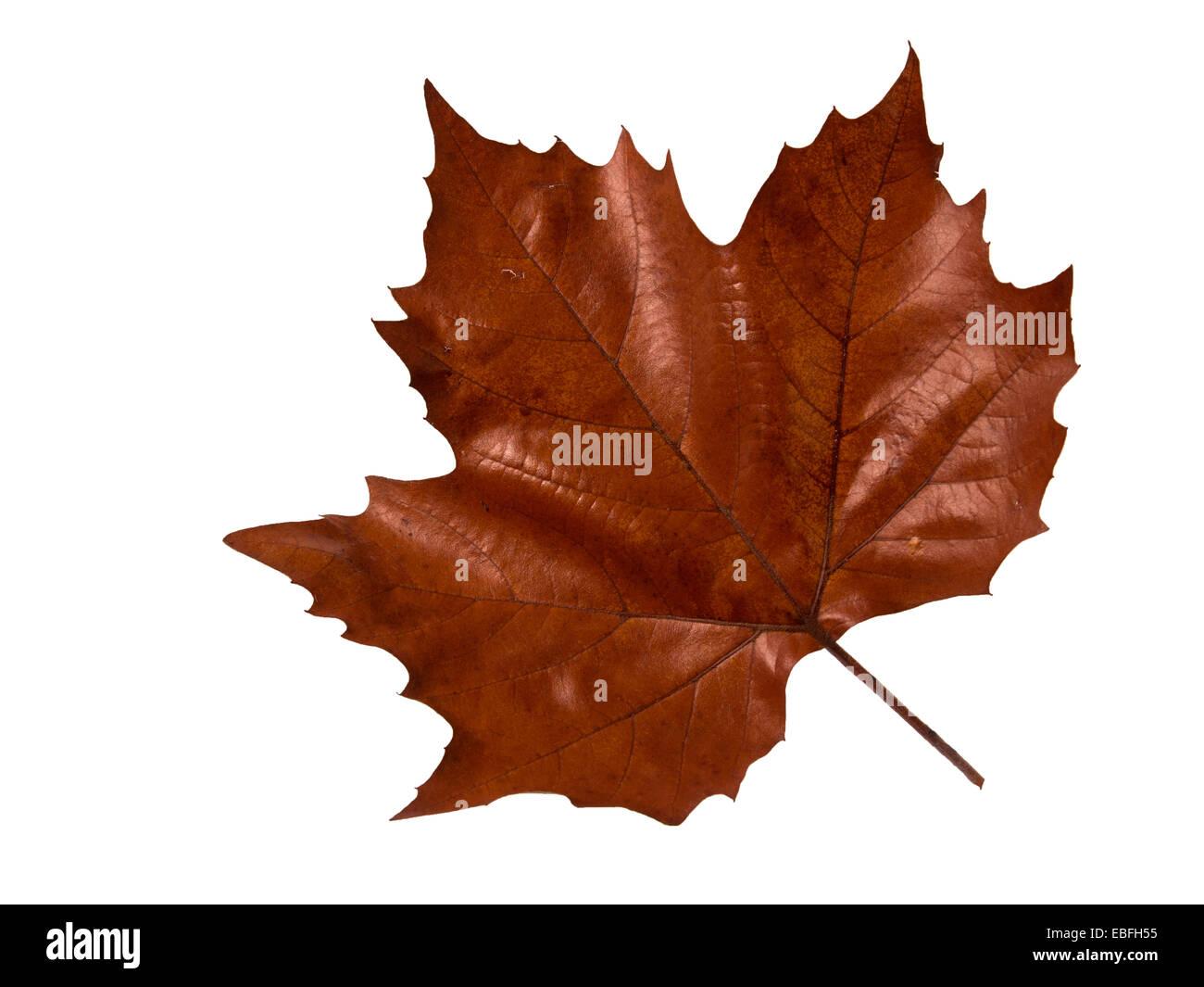 Maple Leave - Autumn Stock Photo