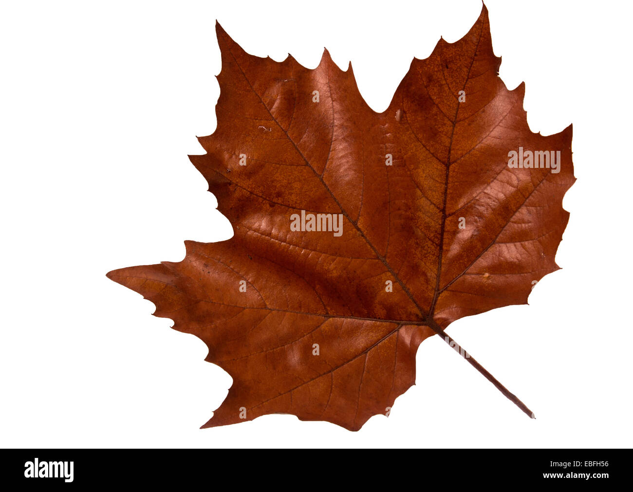 Maple Leave - Autumn Stock Photo