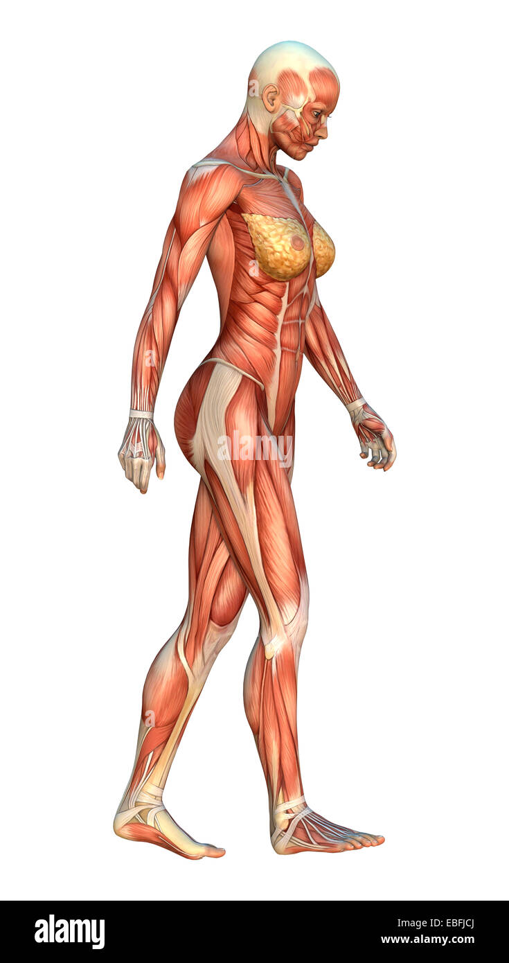 3D digital render of a walking female figure with muscle maps Stock ...